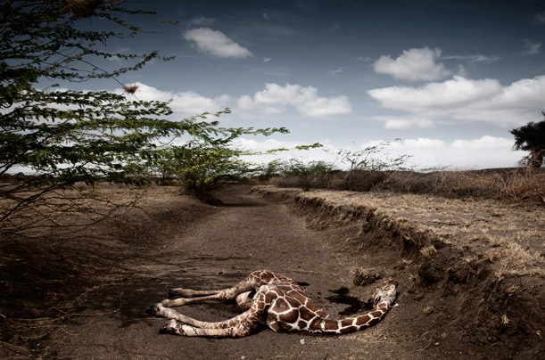 kenya drought giraffe picture